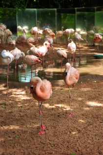 Flamingo chilian