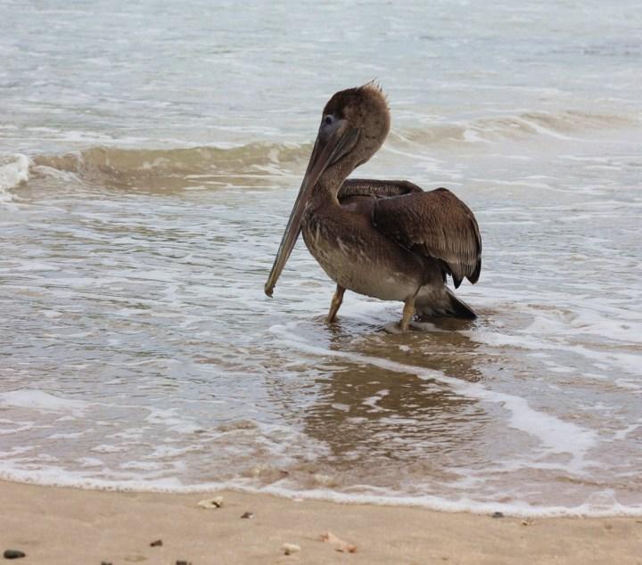 pelican maro