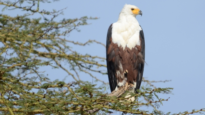 african-fish-eagle, photo credit- m. f. kinnaird