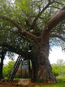 baobab, look out tree